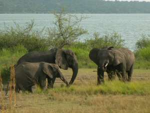 elephants in queen elizabeth
