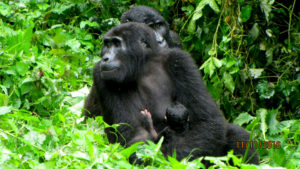 baby-gorilla-born-2016-11-11-at-bwindi-national-park01