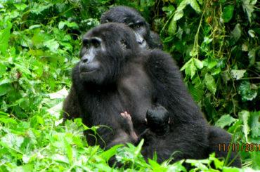 Uganda Mountain Gorillas in Baby Boom