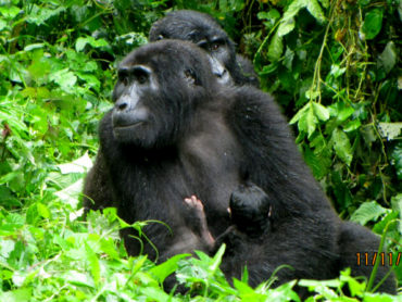 Uganda Mountain Gorillas in Baby Boom
