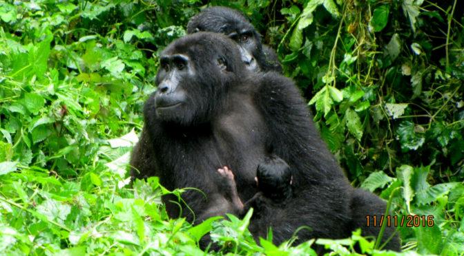 baby gorilla Bwindi