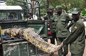 Uganda's notorious crocodile captured