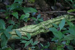 Budongo forest Uganda