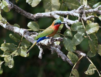 Uganda Birding Safari Tours, Birdwatching Guides