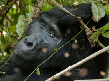 Gorilla Tracking in Uganda, Mgahinga Gorilla National Park
