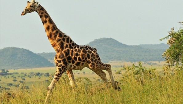 kidepo safari giraffe