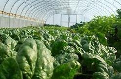 Vegetables under green house