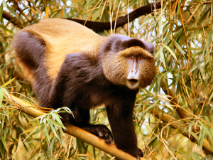 golden monkey primate