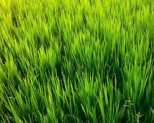 rice growing in Uganda
